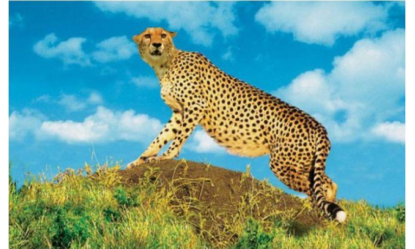 close up of cheetah slide